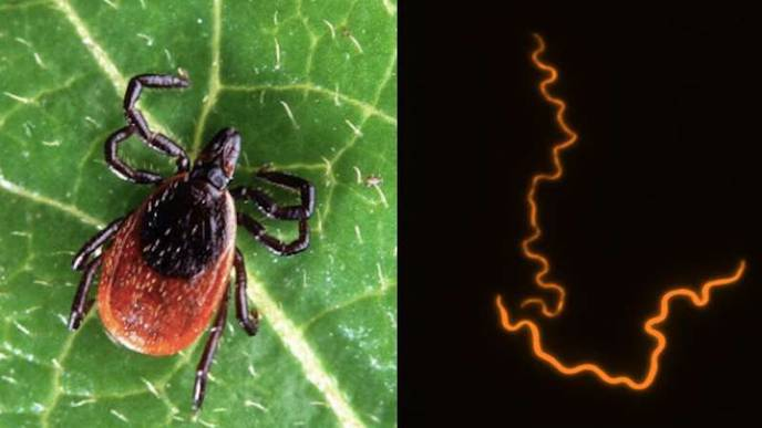 Discovery of Cellular Contributor of Lyme Arthritis Could Open Door to Treatment